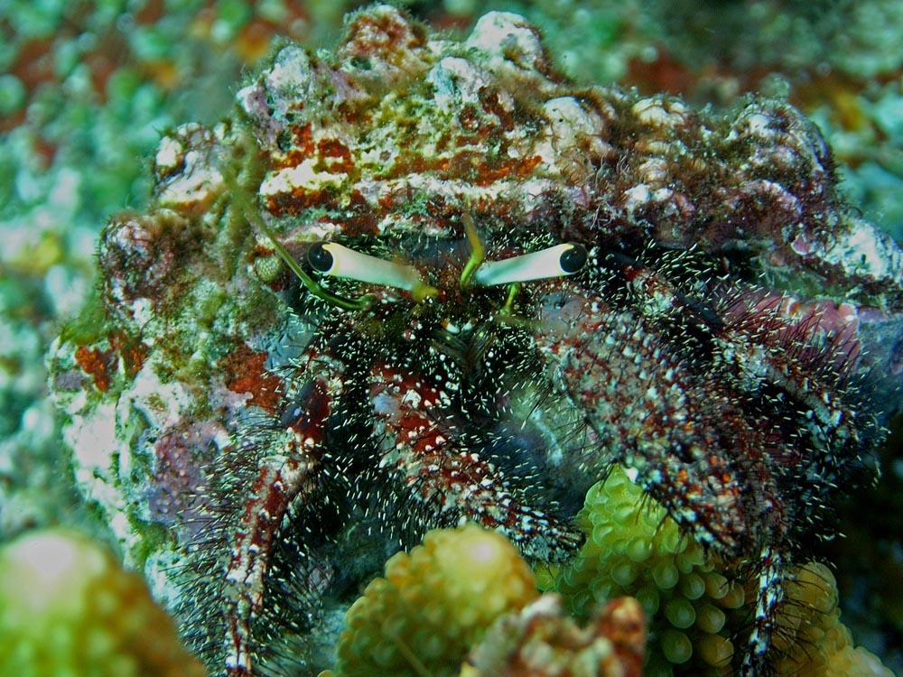 049 crab - raja ampat, indonesia.jpg
