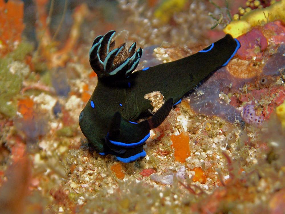 050 nudibranch - raja ampat, indonesia.jpg