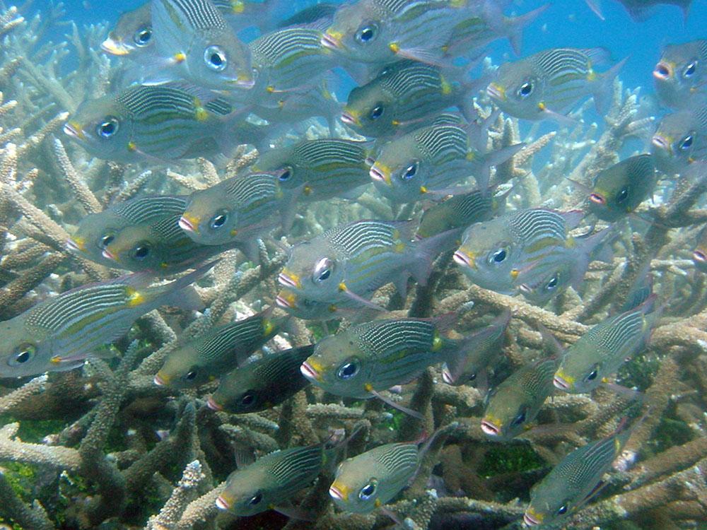 072 fish school - papua new guinea.jpg
