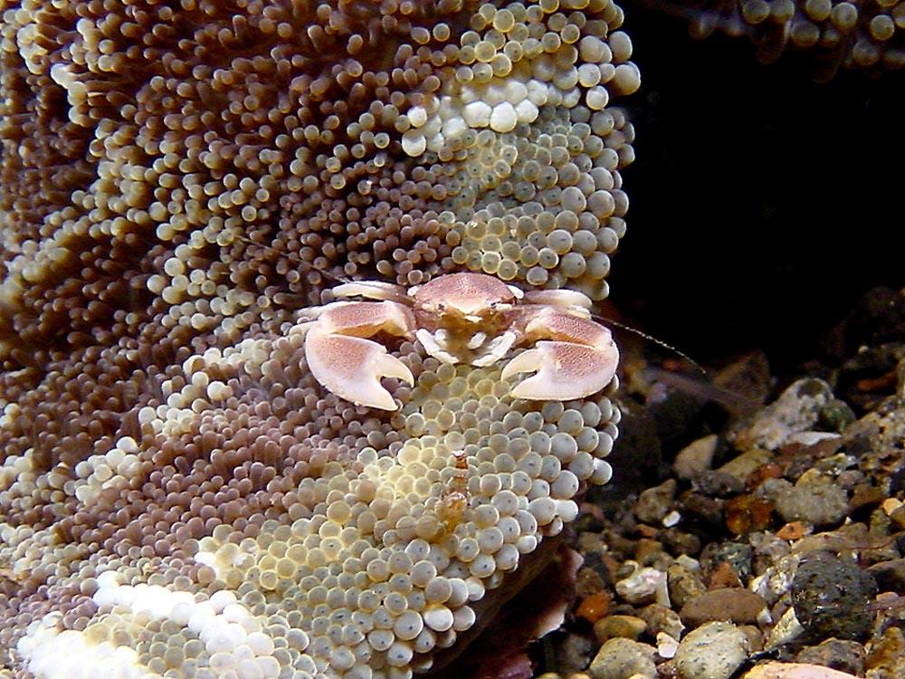 086 crab, anemonie, & black sand - alor, indonesia.jpg