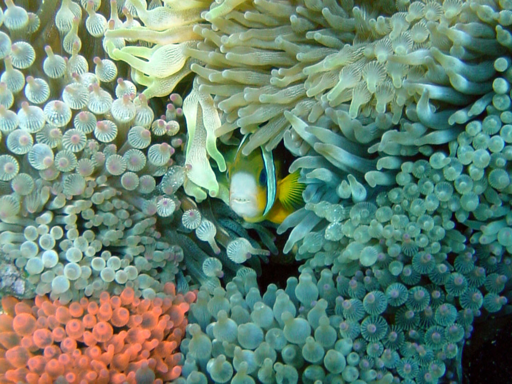088 clownfish & anemone garden - alor, indonesia.jpg