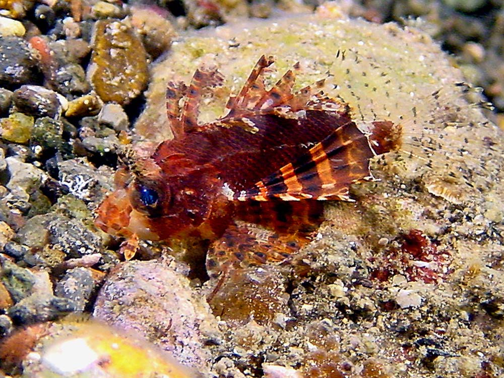 092 dwarf lionfish - alor, indonesia.jpg