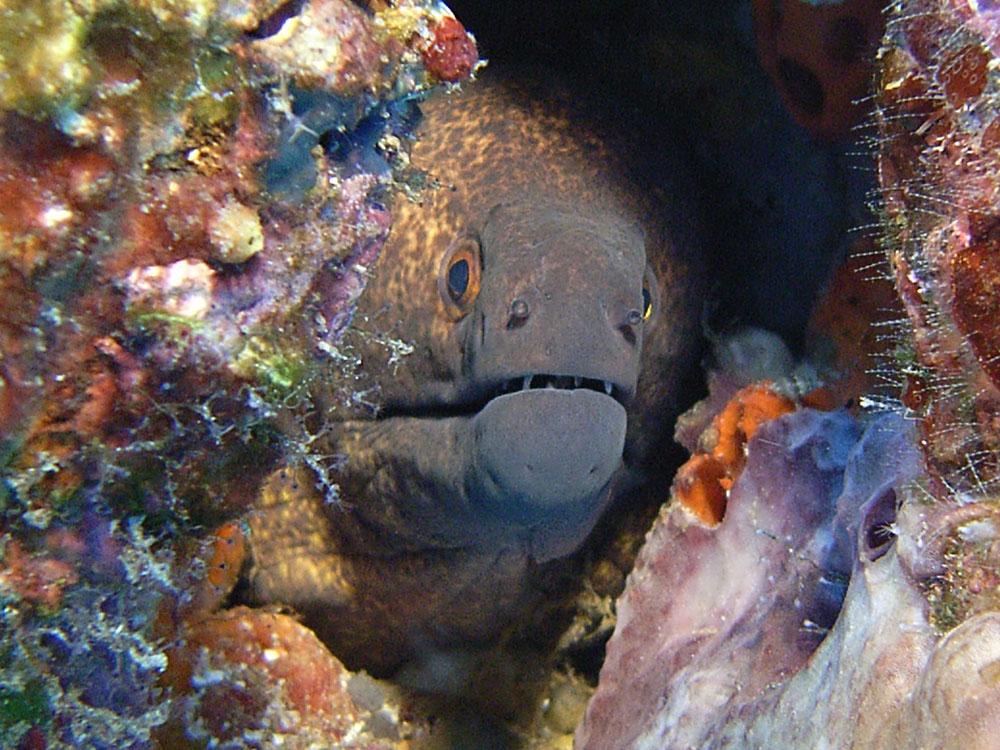 105 moray eel - manado, indonesia.jpg