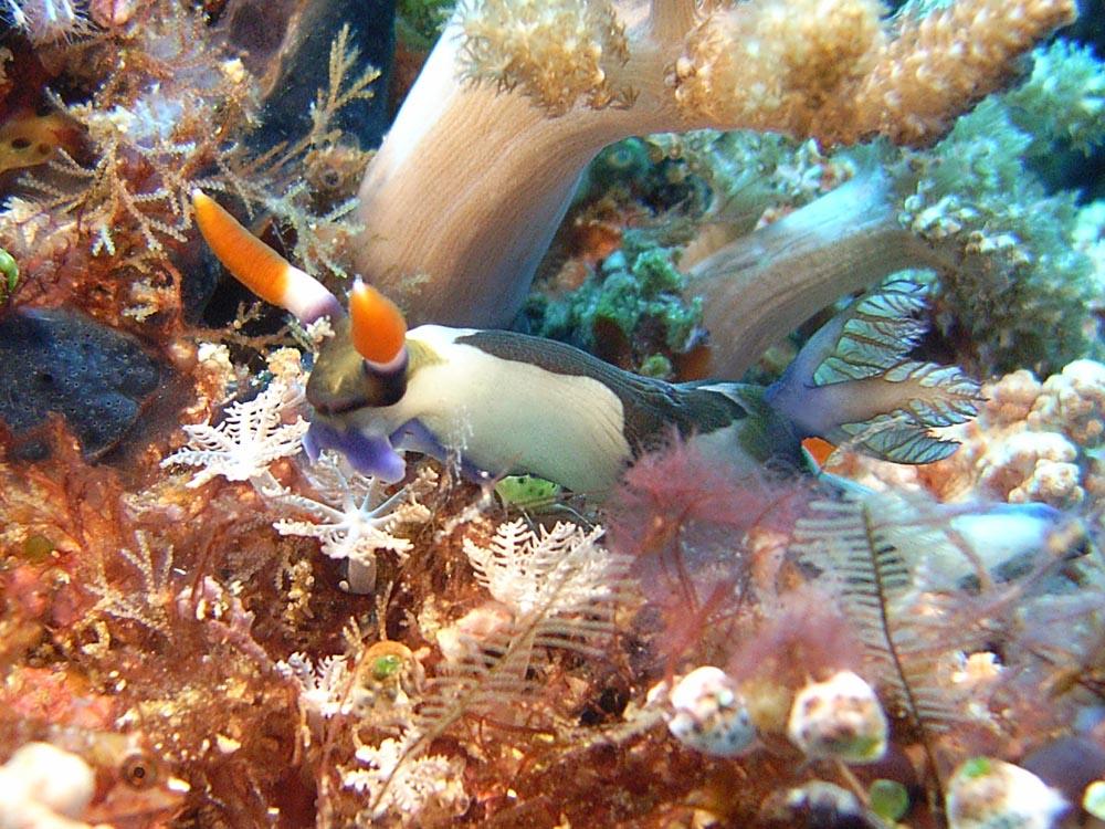 116 nudibranch - manado, indonesia.jpg
