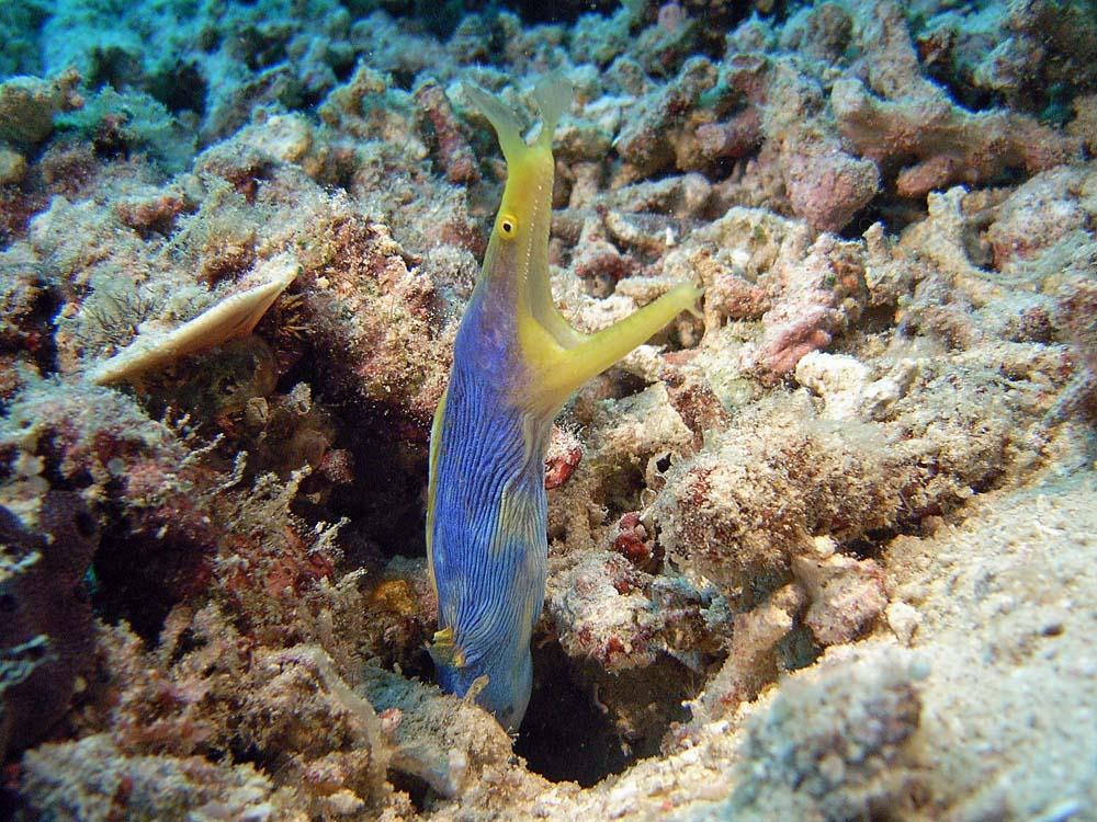 120 ribbon eel - manado, indonesia.jpg