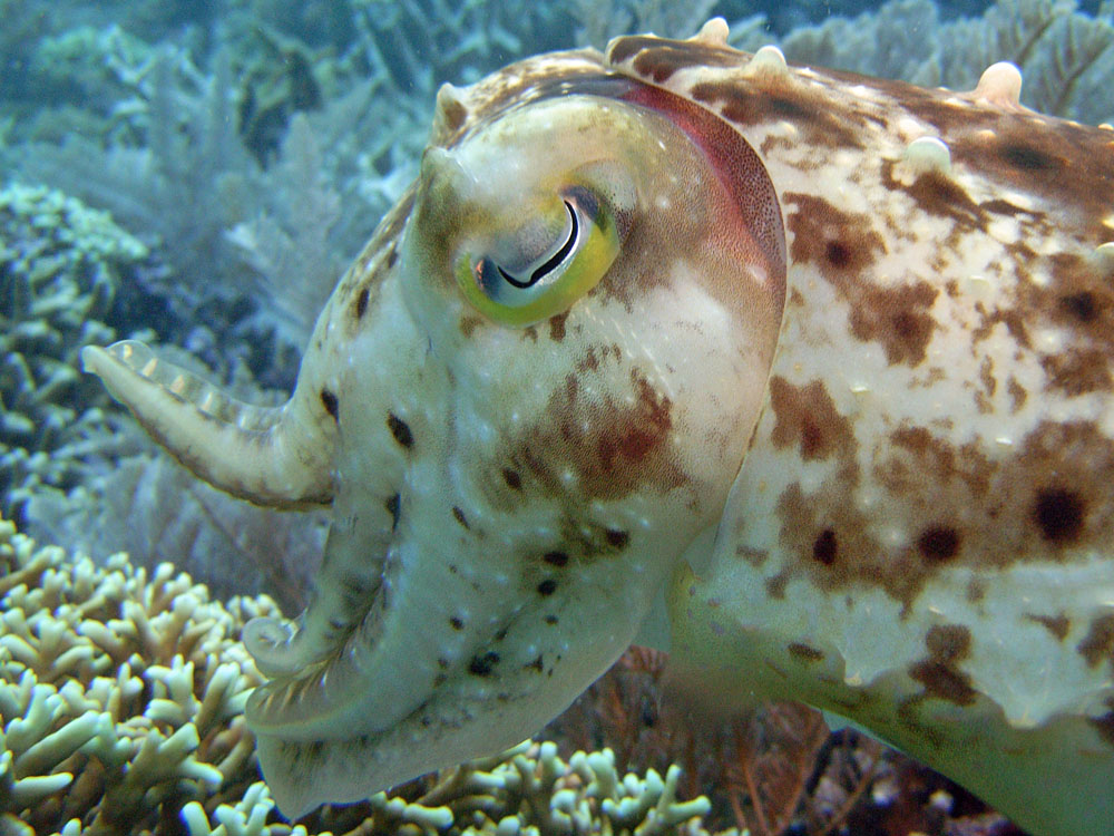 121 cuttlefish - manado, indonesia.jpg