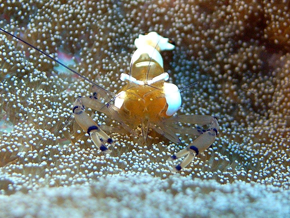 123 transparent shrimp - manado, indonesia.jpg