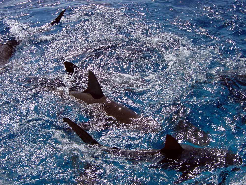 128 caribbean reef sharks - nassau, bahamas.jpg