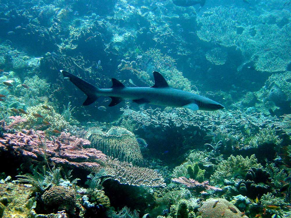 131 white-tipped reef shark - komodo, indonesia.jpg