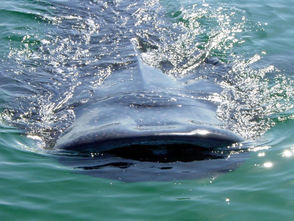 132 whale shark - Holbox, Cancun, Mexico.jpg