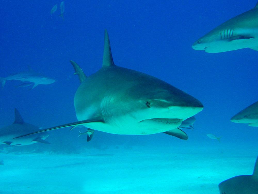 135 caribbean reef sharks - nassau, bahamas.jpg