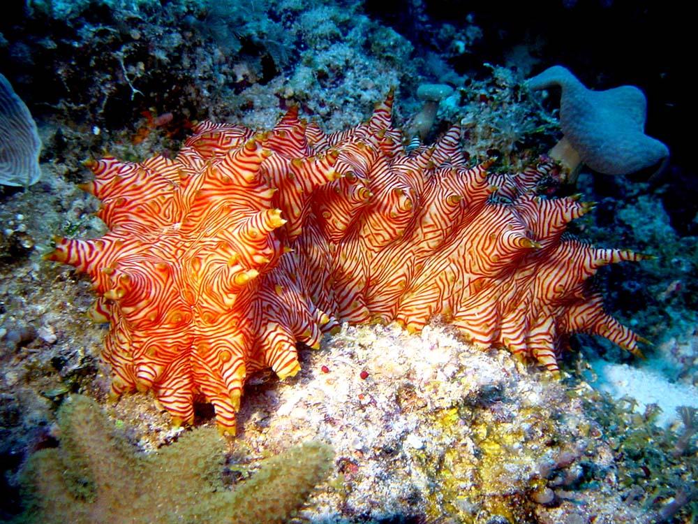142 candy-striped sea urchin - papua new guinea.jpg