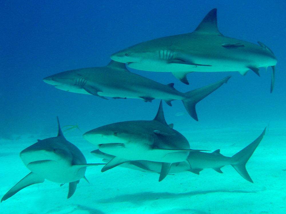 149 caribbean reef sharks - nassau, bahamas.jpg