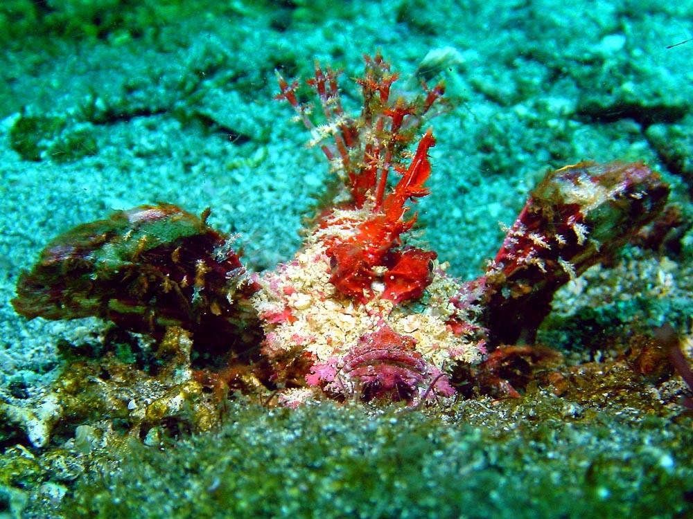 167 devil scorpionfish - alor, indonesia.jpg
