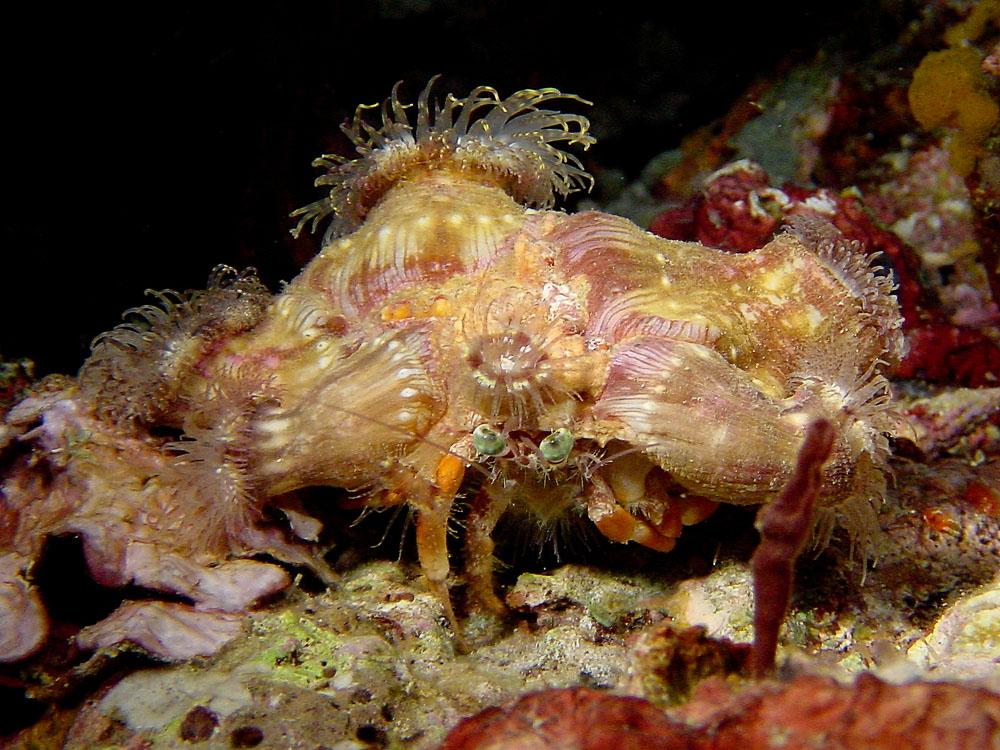 174 decorator crab - komodo, indonesia.jpg