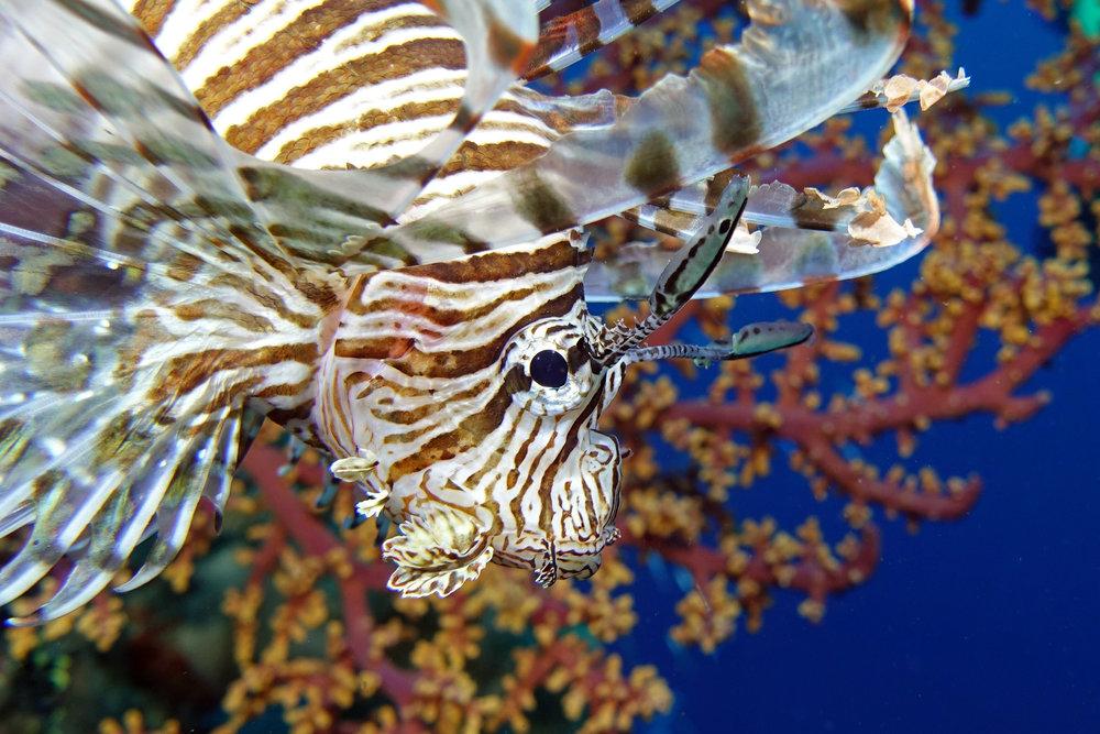 lionfish 1187.jpg