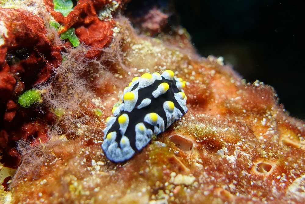 nudibranch 1567.jpg