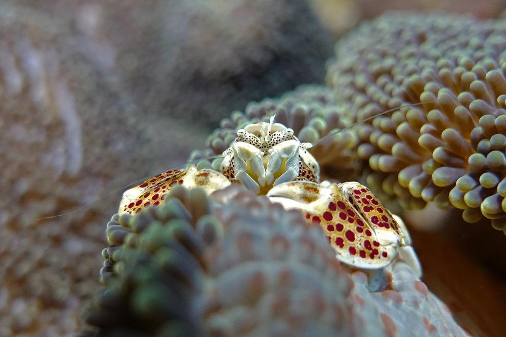 porcelain crab 2398.jpg