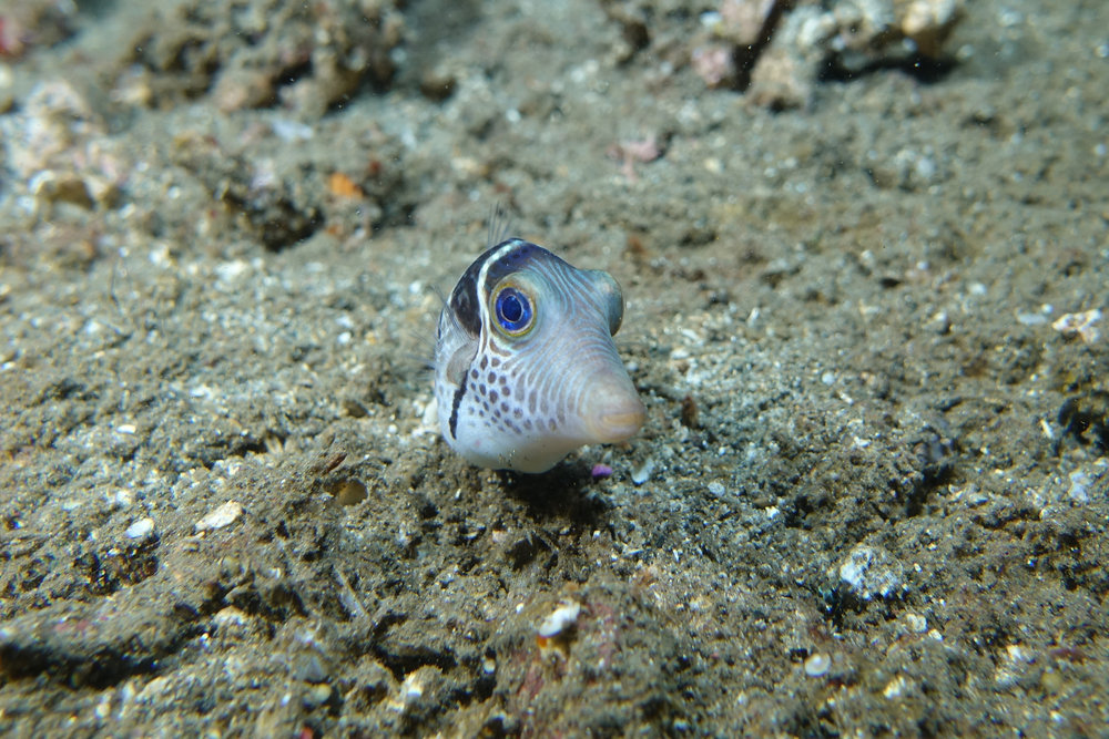 pufferfish 682.jpg