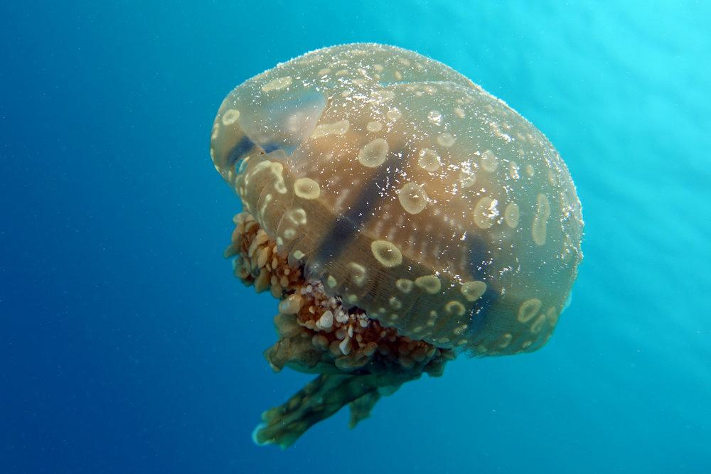 sea jelly 2234.jpg