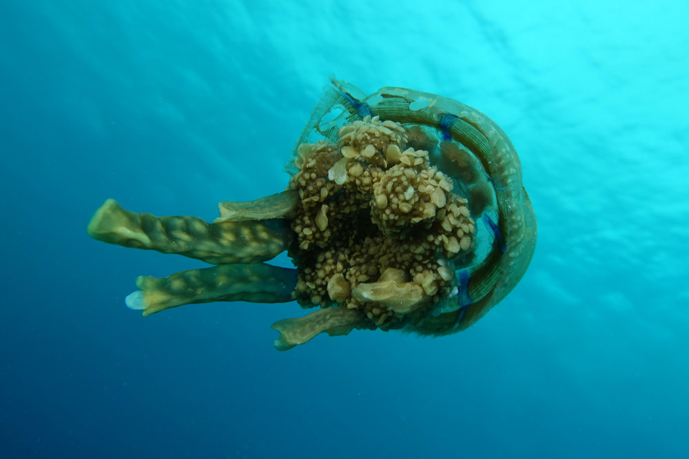 sea jelly 2236.jpg