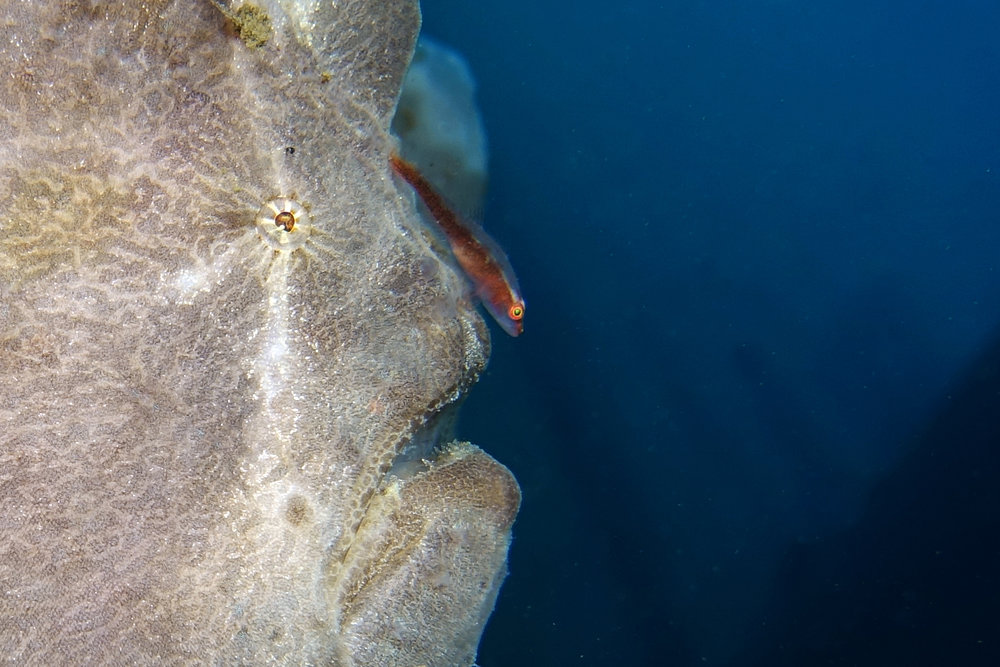 giant frogfish 1879 closeup cover photo.jpg