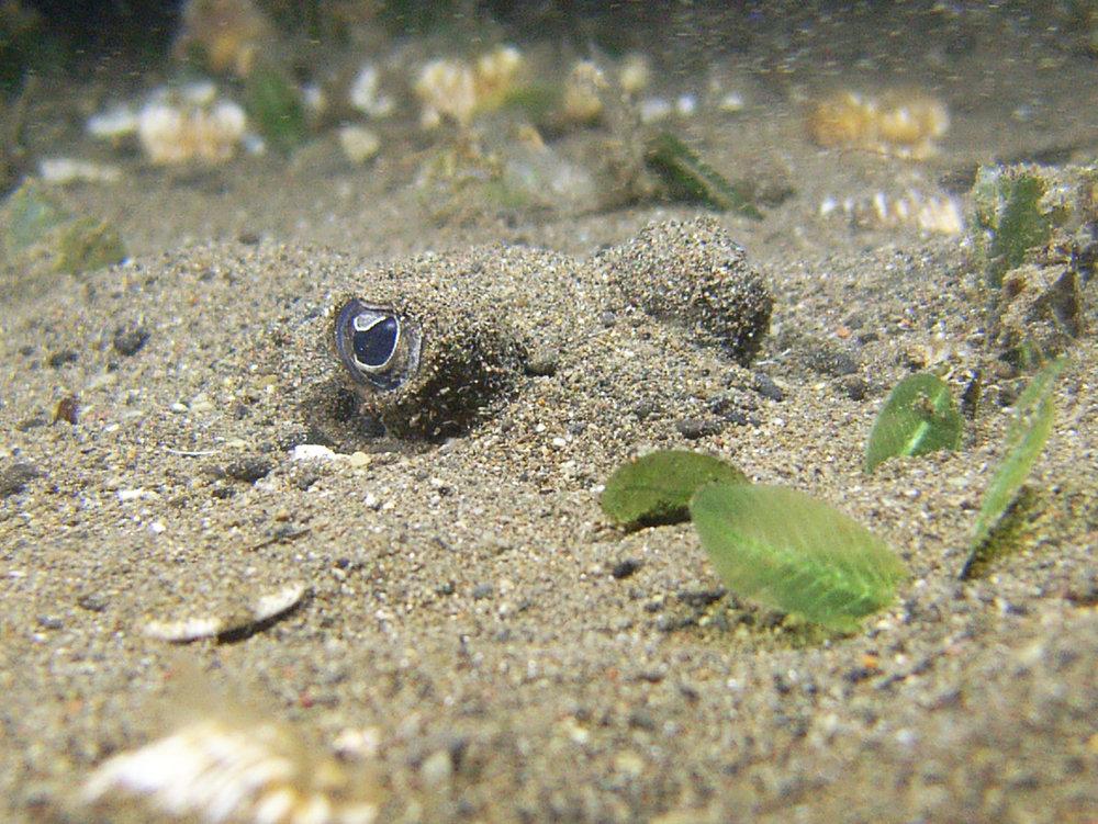 blue spotted stingray 3.jpg