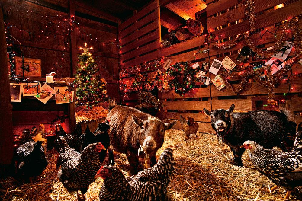 2011-Xmas-chickens.jpg