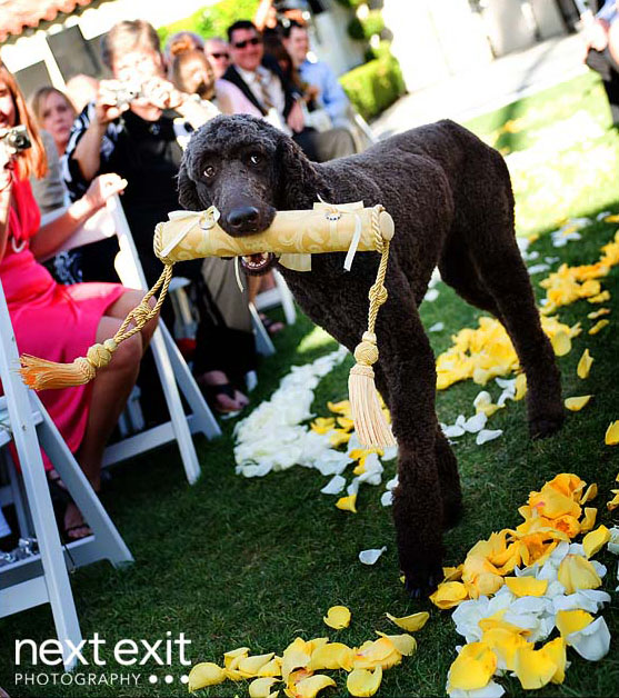 large-dog-with-ring-bearer-pillow.jpg