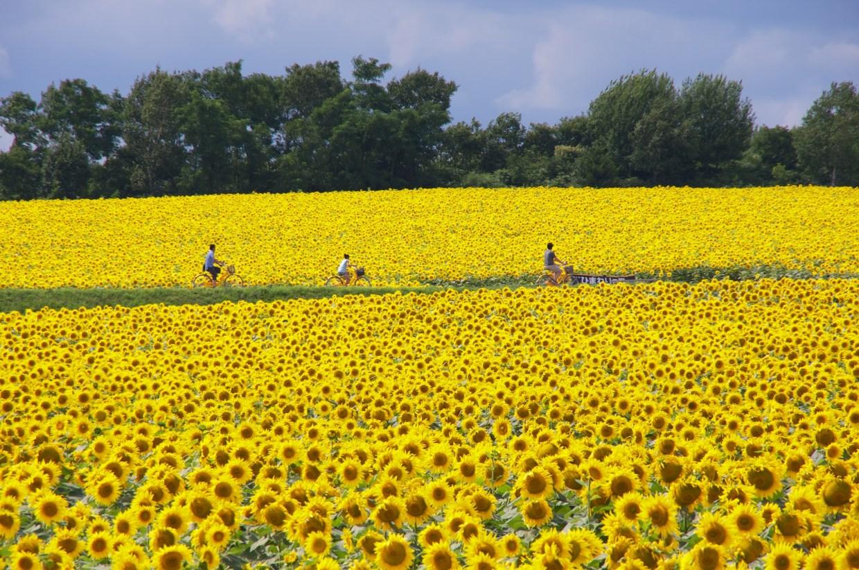 Himawari no Sato (Sunflower Field) Hokuryu เทศกาลดอกไม้ ทุ่งดอกทานตะวัน