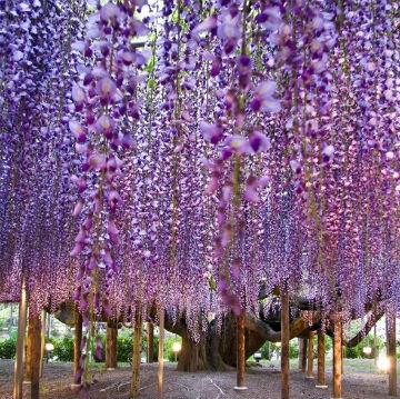 wisteria-wonders-jpt.jpg