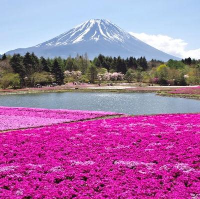 magnificent-shibazakura-jpt.jpg