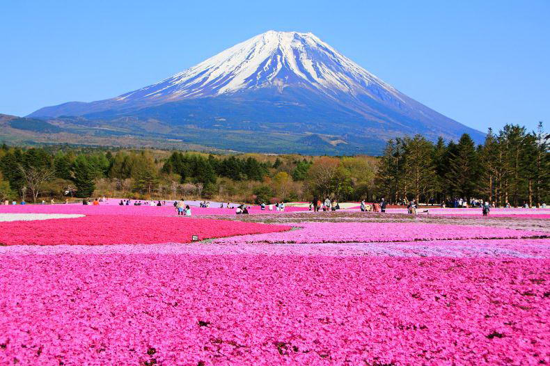shibazakura-find-travel.jp_.jpg