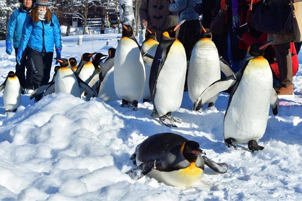 Penguin Walk of Asahiyama Zoo