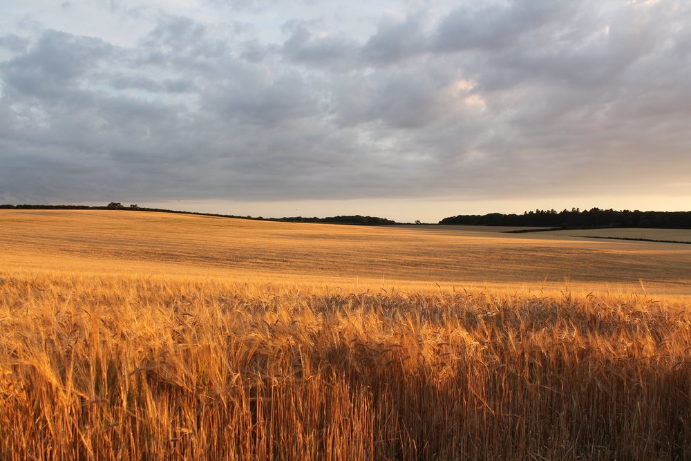 Sunset on Middle Quarles barley field.jpg