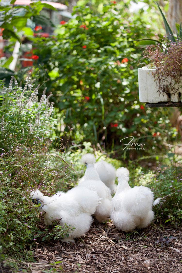 gwinaganna-lifestyle-chicken-farm.jpg