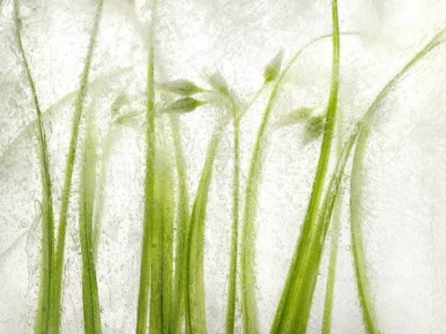Ryuijie Ice Forms (Grass), 2012 Digital pigment print on Museo paper