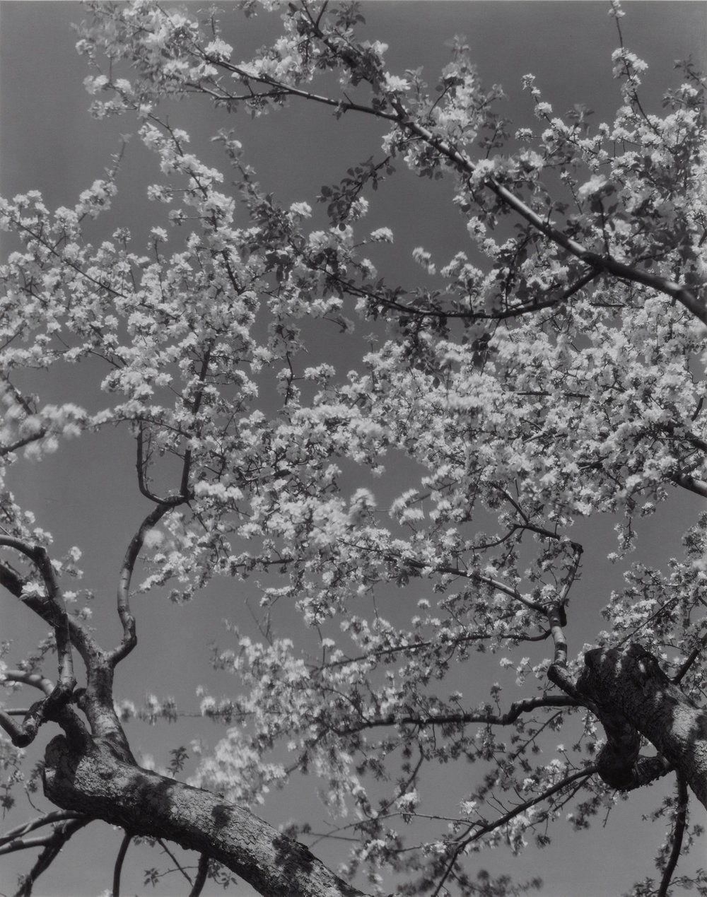 Edward Steichen Apple Blossoms, 1932 Black and white print mounted on museum board