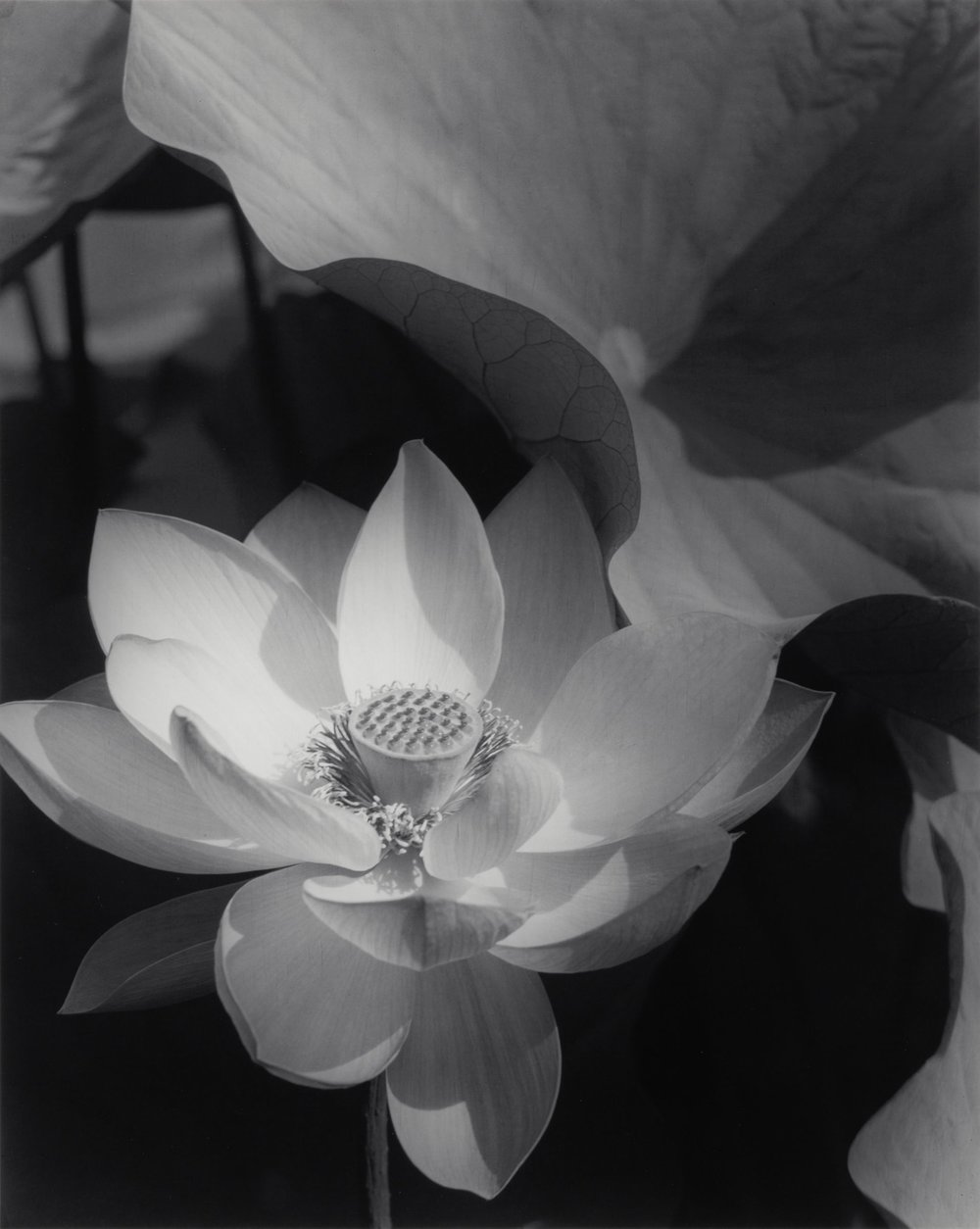 Edward Steichen Lotus, 1915 Black and white print mounted on museum board