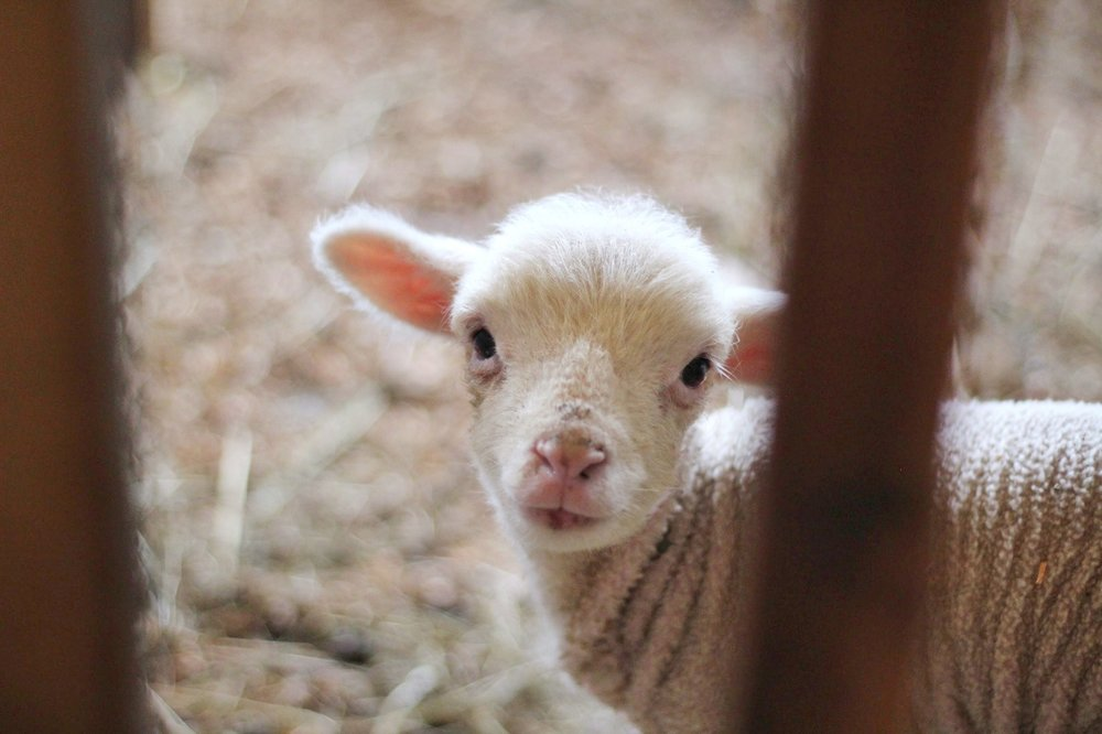 I imagine Eliab looking like this little lamb... cute, but ineffectual in battle.
