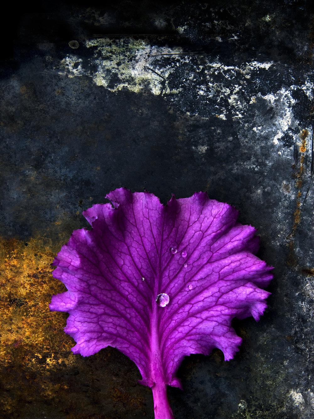 cabbage 5 A4.jpg