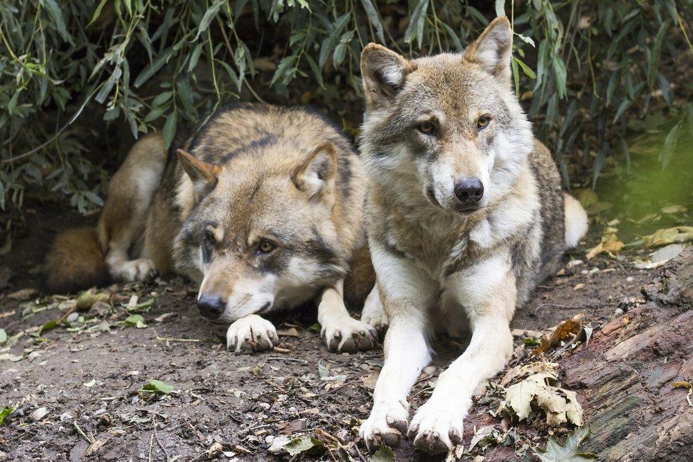 wolves-1388558_1920.jpg
