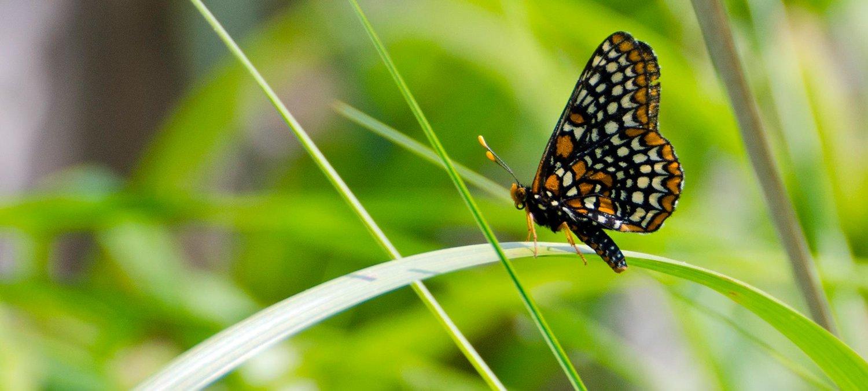 the butterfly page dayton audubon society