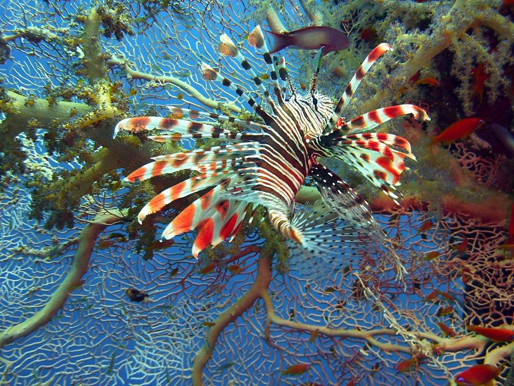 lionfish-joakant-coral-closeup.jpg