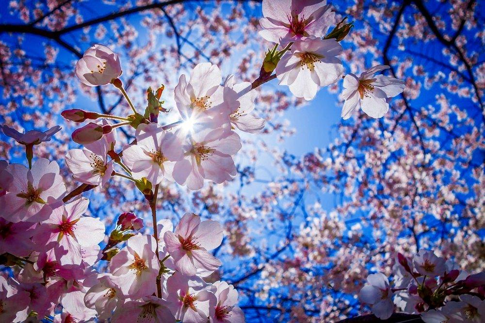 cherry-blossoms-1716763_1280.jpg