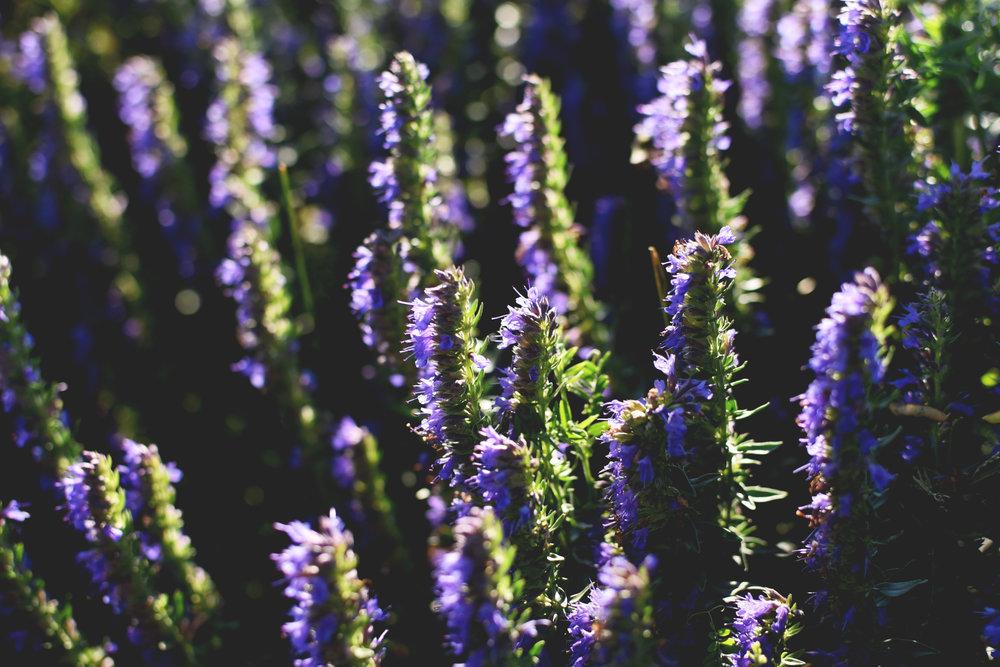 Paniers bio- Hysope jardin- Clotilde.jpg