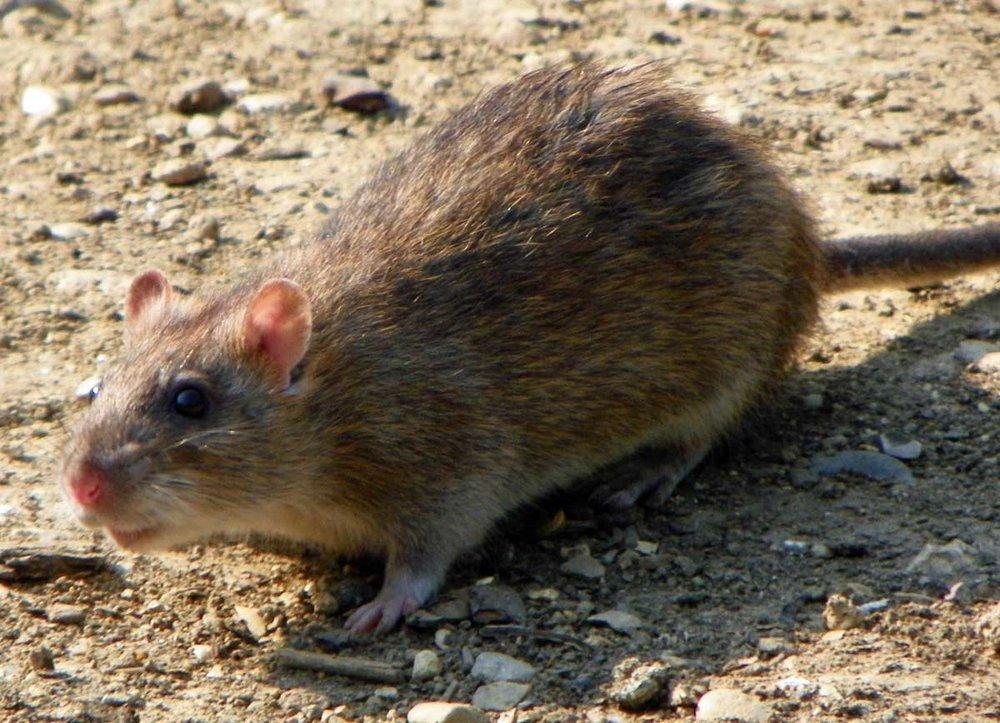 Rat-smaller.jpg