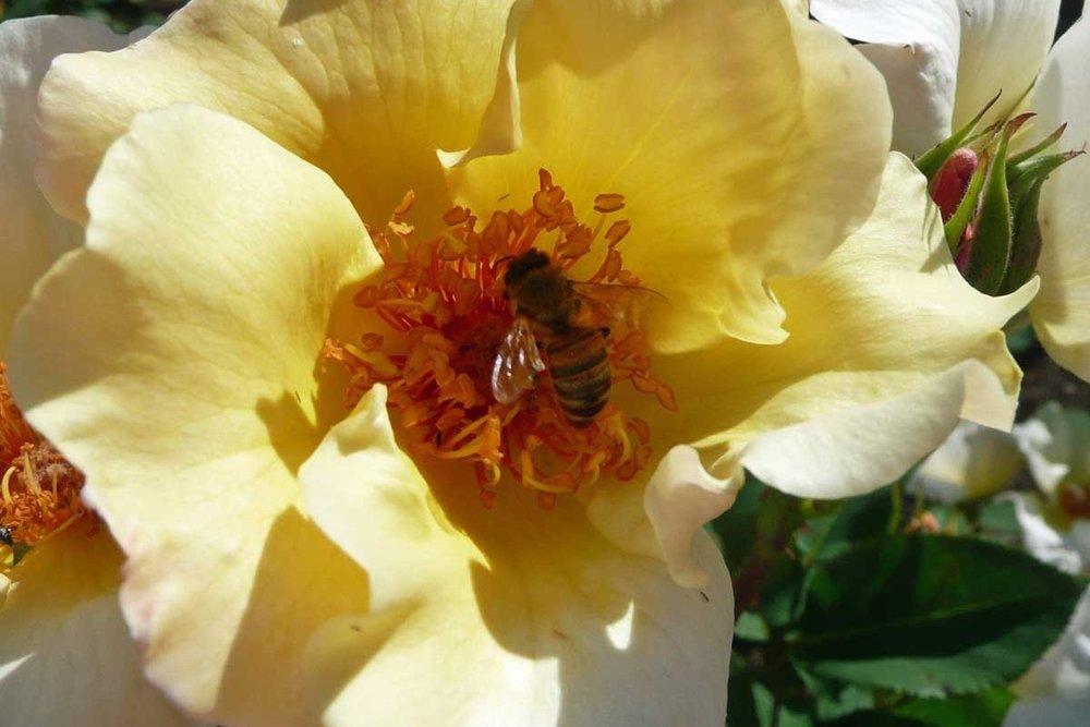 Honeybee-smaller.jpg