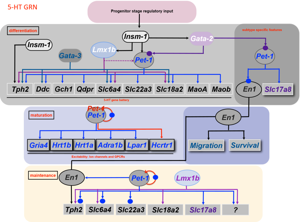 5-HT neuron gene regulatory networks. Depicted regulatory interactions (arrows) at the indicated stages of life are based on germ line or conditional loss of function data for each indicated TF. Terminal effector genes are depicted in rectangles and transcription factors in ovals. 5-HT pathway genes encoding 5-HT synthesis ( Tph2, Ddc, Gch1, Qdpr ), reuptake ( Slc6a4, Slc22a3 ), vesicular transport ( Slc18a2 ), and metabolism ( Maoa, Maob ) are shown in rectangles with black letters. Terminal effector genes depicted in blue letters ( Gria4, Htr1a, Htr1b, Adra1b, Lpar1, Hcrtr1 ) encode AMPA receptor subunit GLUR4 and GPCRs required for responses to diverse synaptic inputs.