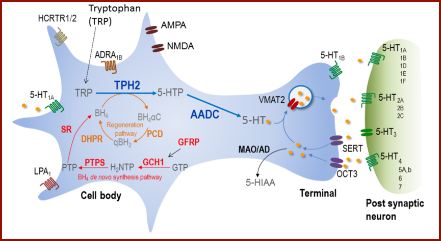 Serotonergic–type neuron identity 5–HT neurons coexpress a gene battery encoding 5–HT synthetic (Tph2, Aadc, Gch1, Gfrp, Ptps, Qdpr), reuptake (Sert), vesicular transport (Vmat2), autoreceptor signaling (Htr1a, Htr1b) and metabolism (Maoa, Maob) proteins. Tetrahydrobiopterin (BH4), an essential cofactor for Tph2 in the synthesis of 5–HTP, is synthesized (red pathway) de novo from guanosine triphosphate (GTP). It is also recycled through a regeneration pathway (brown). Aldehyde dehydrogenase (Aldh) converts 5–Hydroxyindolealdehyde into 5–Hydroxyindoleacetic acid (5–HIAA). Following release, 5–HT modulates 5–HT neuron firing through somatodendritic Htr1a autoreceptors, 5–HT release from the pre–synaptic terminal through Htr1b autoreceptors and stimulates neurotransmission through post–synaptic 5–HT receptors (5–HT1–7).